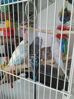 Meet my budgies! (Left to Right) Nephele, Icarus, and Persephone!